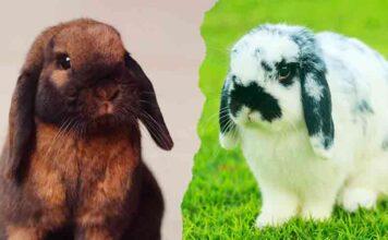 mini lop vs holland lop