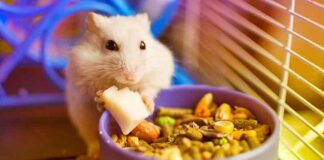 how long can a hamster go without food