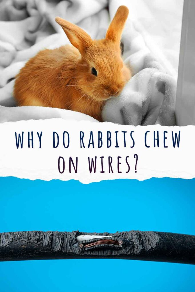 why do rabbits chew on wires