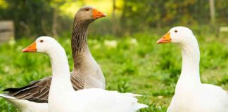 three geese -goose names
